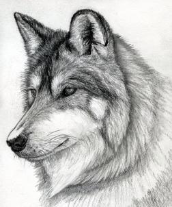 Drawn amd wolf Head by to draw Wolf