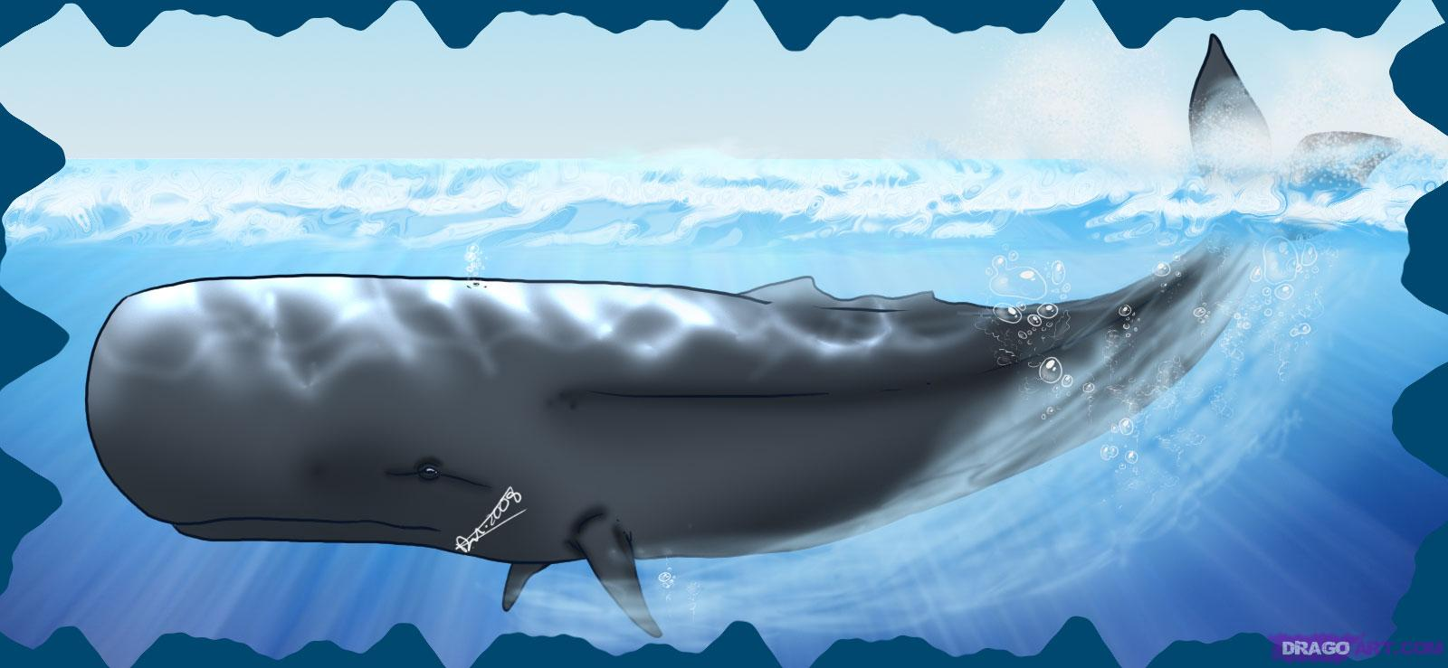 Drawn whale humongous Sperm by a Animals how