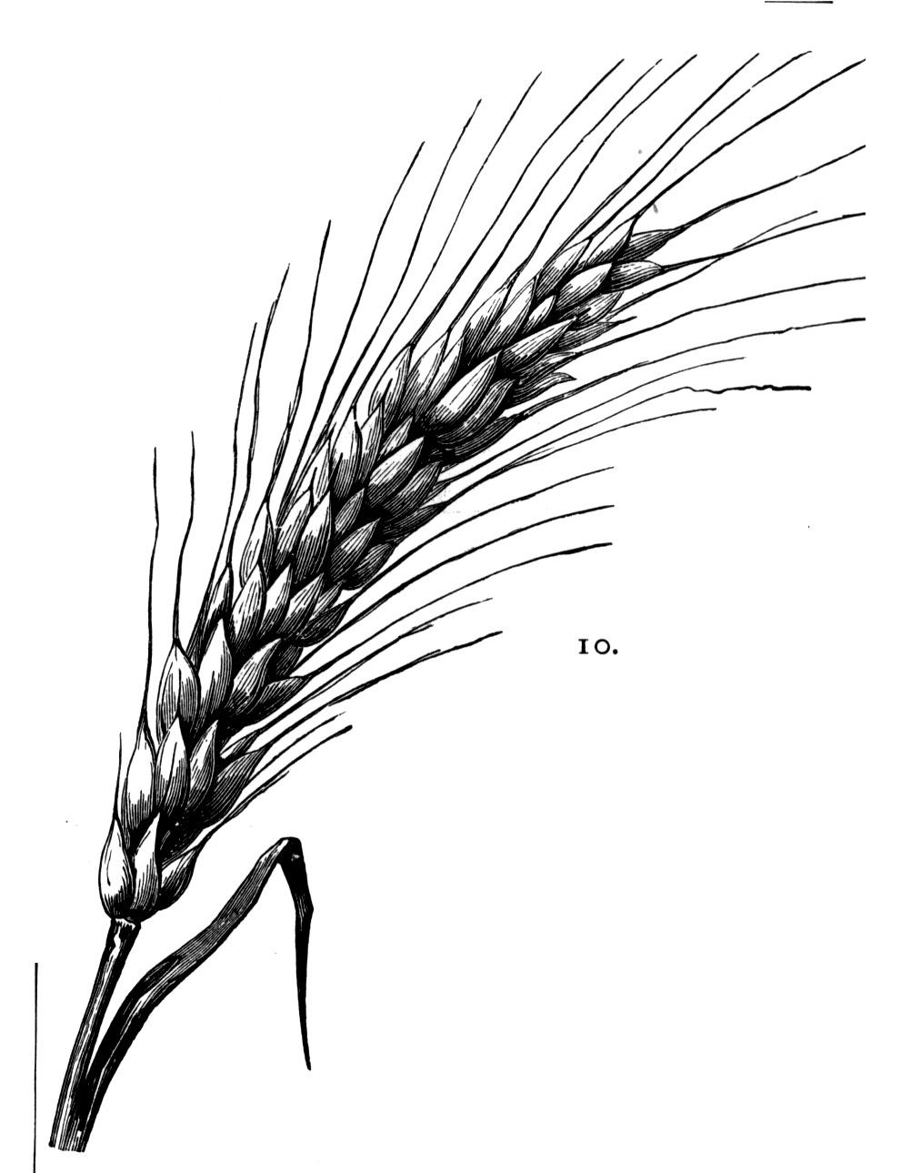 Drawn wheat How How Wheat  Download
