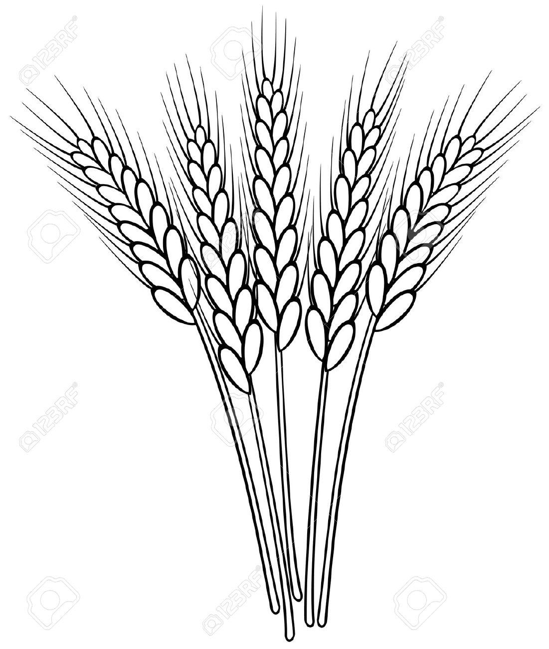 Drawn wheat Stalks white Google of small