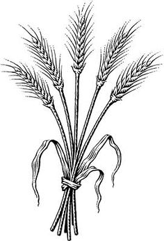 Drawn wheat  drawing Search two hand