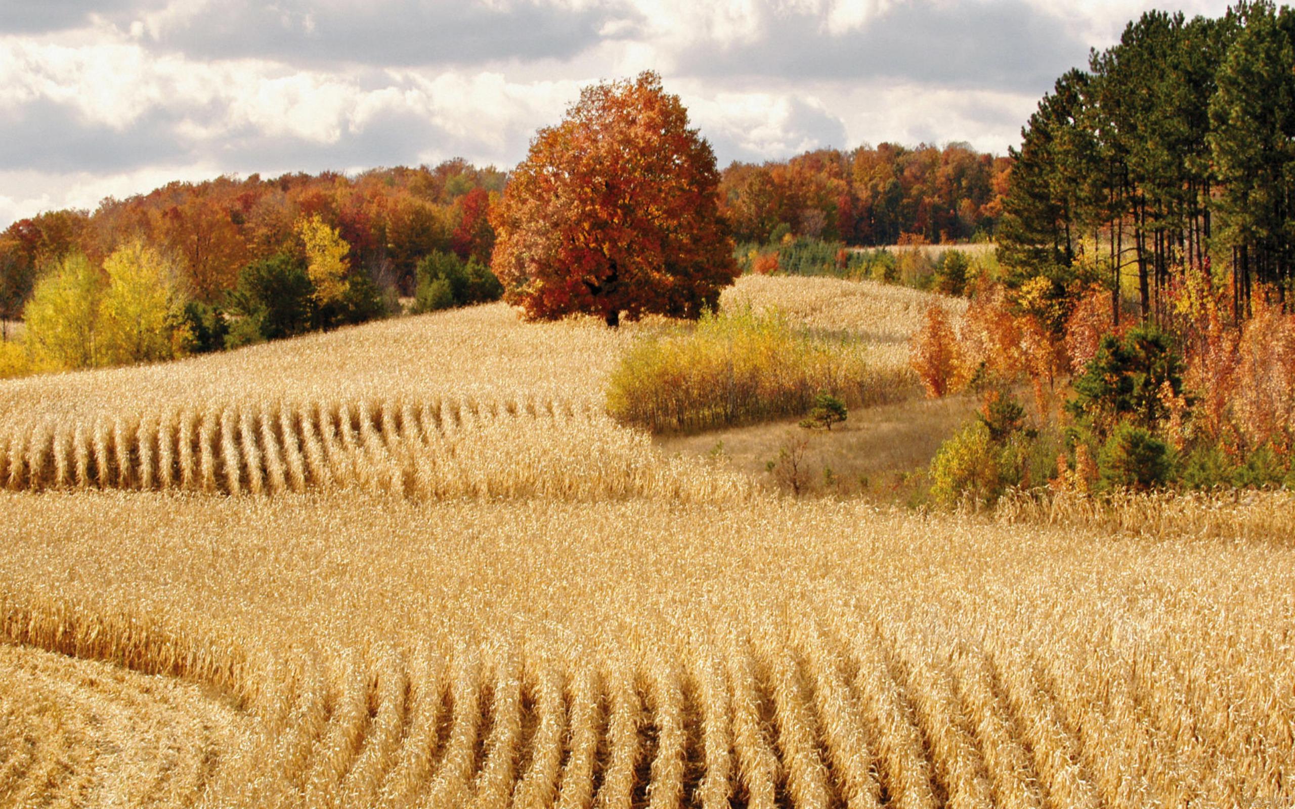 Drawn wheat Field Wheat Drawing Wheat Drawing