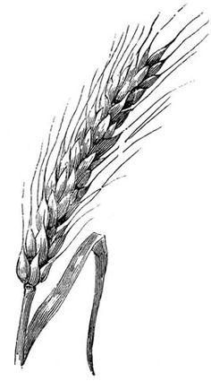 Drawn grain wheat stalk Food drawing sources grains Drawings