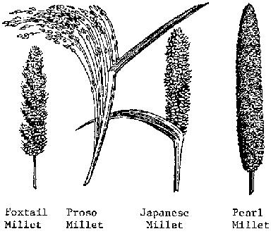 Drawn wheat Plant Millets improvement develops sorghum