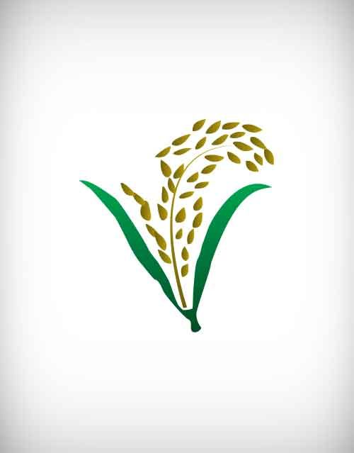 Drawn grain paddy plant About dry vector ear riceberry