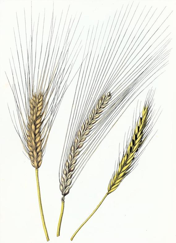 Drawn wheat Drawing Bere Rye com Bere
