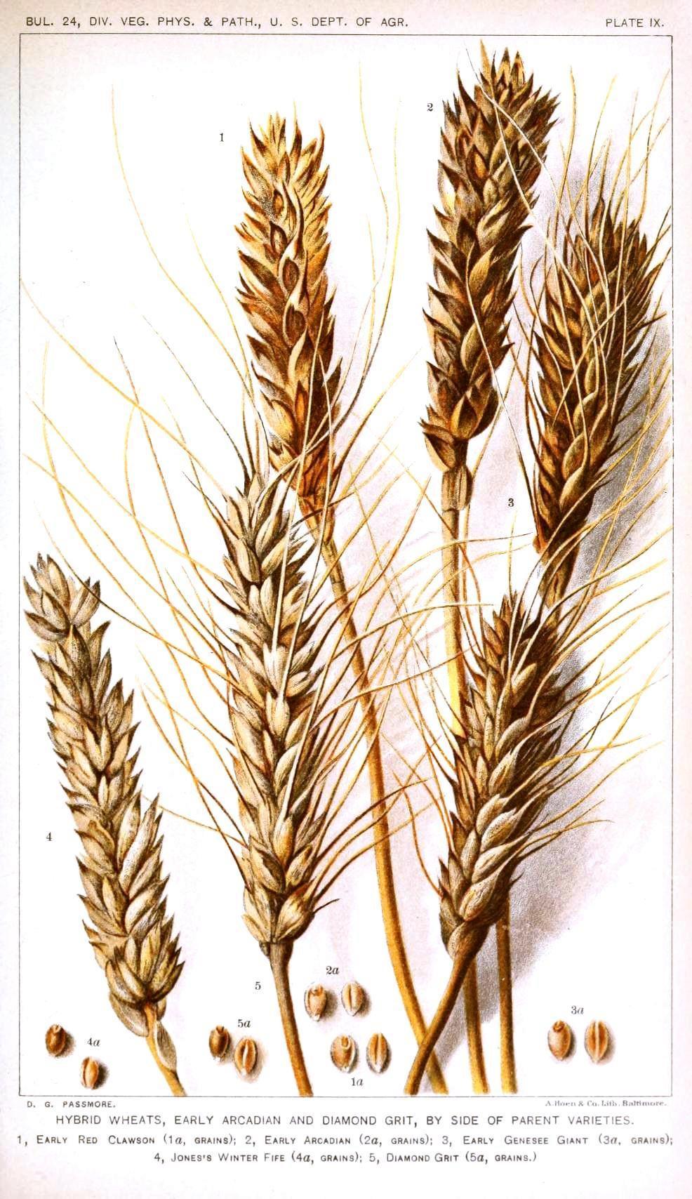 Drawn wheat Plants Pinterest varieties drawing Botanical