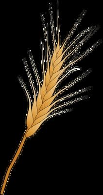 Drawn grain wheat stalk Kernels  Illustration vector wheat