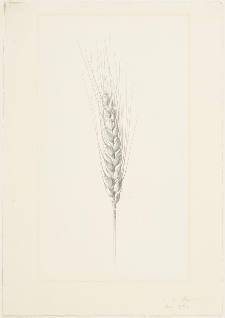 Drawn wheat Harvard Wheat Wheat Art the