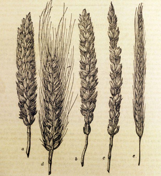 Drawn grain wheat stalk Tattoo wheat Best on Wheat