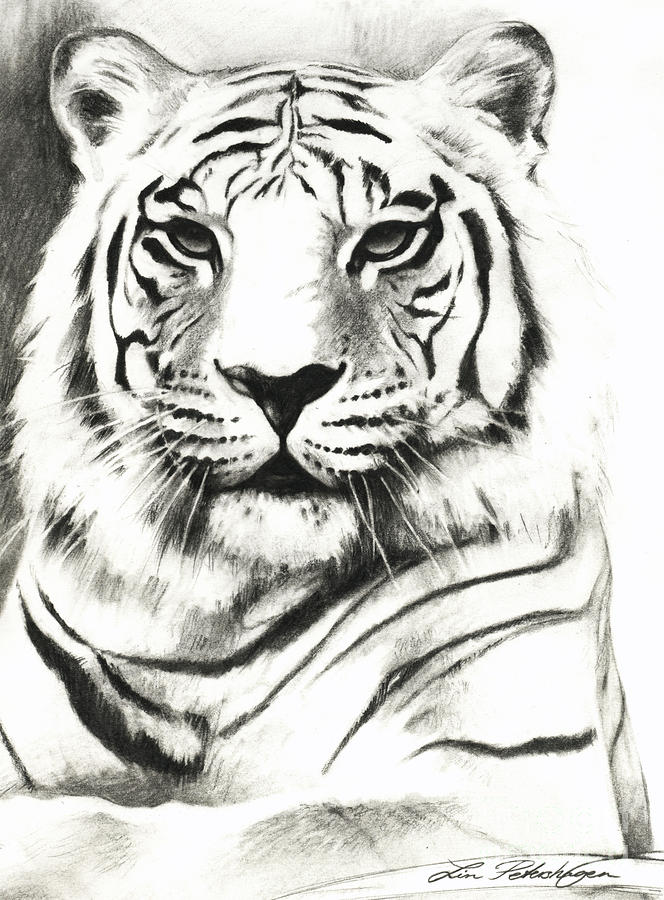 Drawn white tiger Tiger and Portrait White