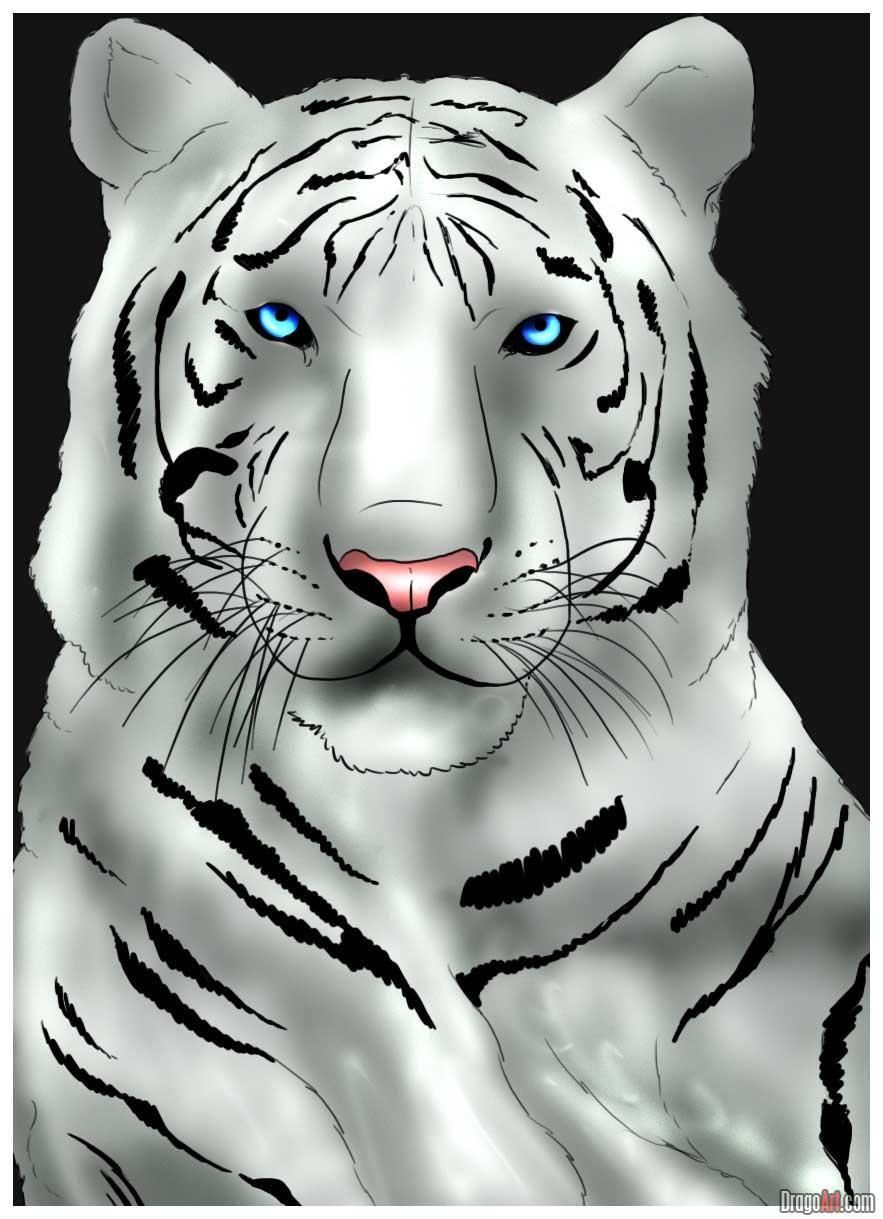 Drawn white tiger Draw tiger a to images