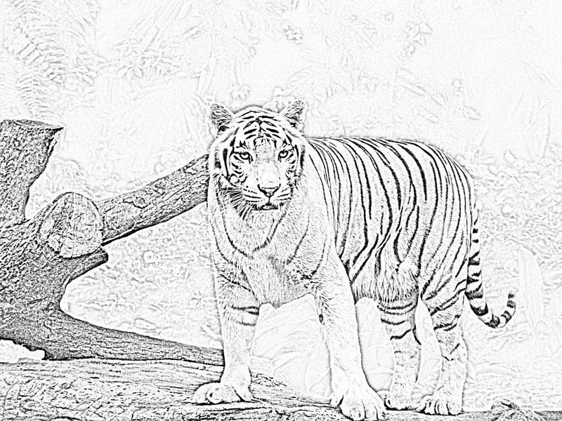 Drawn white tiger Drawings Tiger photo#28 tiger White