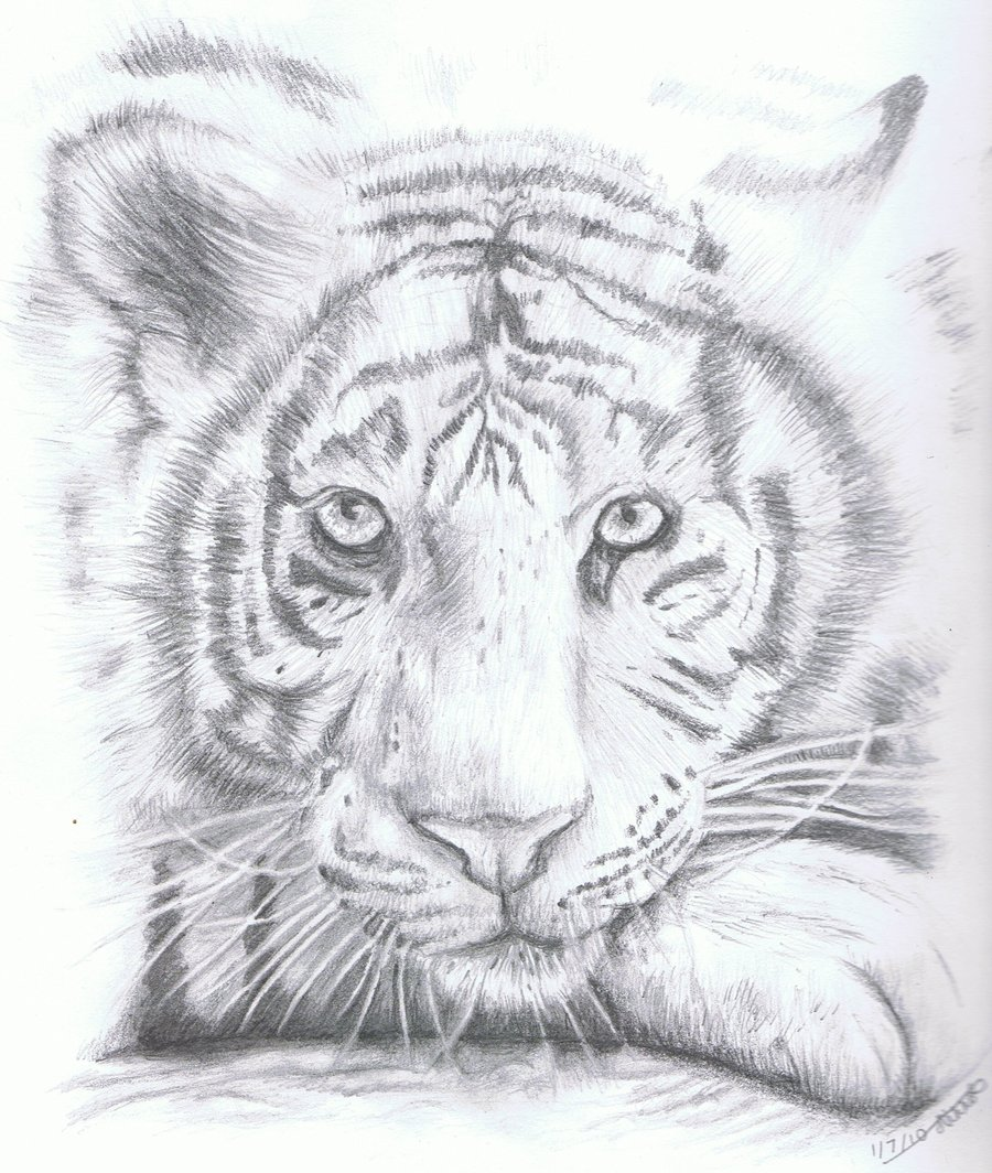 Drawn white tiger Sketch Art Tiger Tiger White