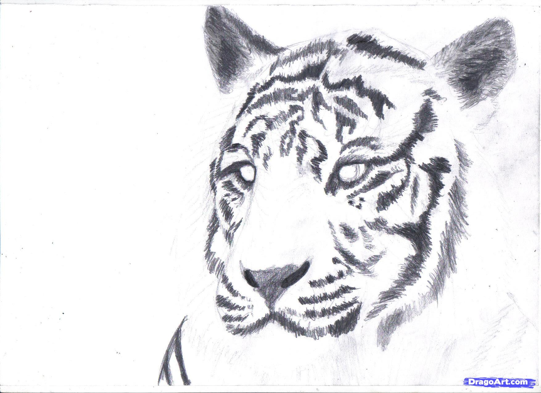 Drawn white tiger Draw tiger a pencil white