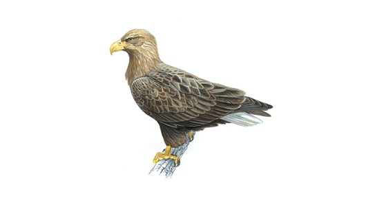 Drawn white-tailed eagle Eagle tailed White The tailed