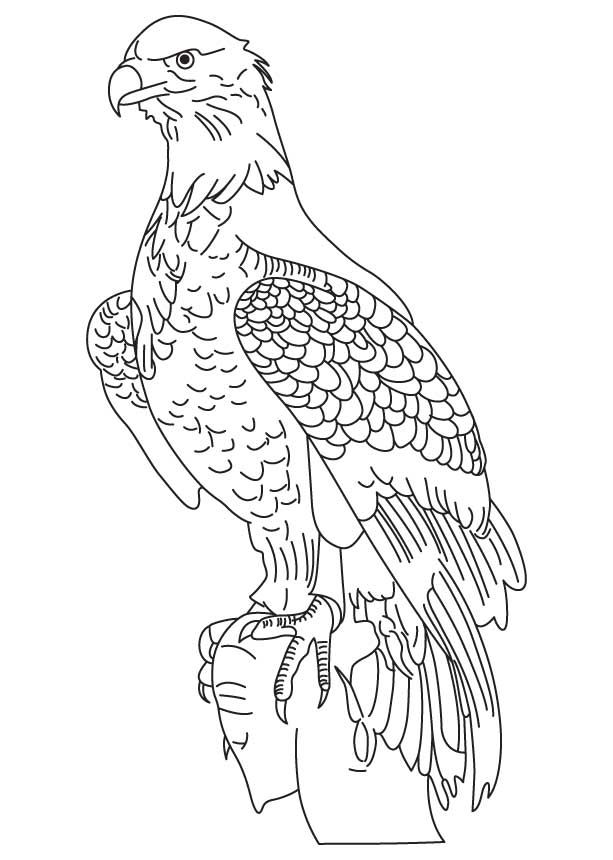 Drawn white-tailed eagle Eagle Eagle coloring tailed White