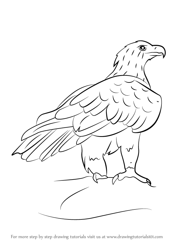 Drawn white-tailed eagle To Eagle to Wedge of