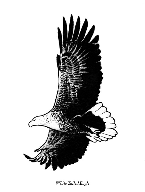 Drawn white-tailed eagle Eagle ciuchy Tailed information White