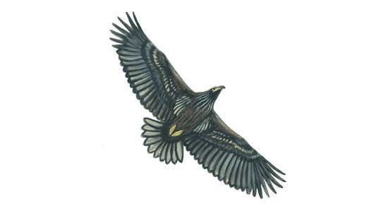 Drawn white-tailed eagle Eagle tailed White in RSPB: