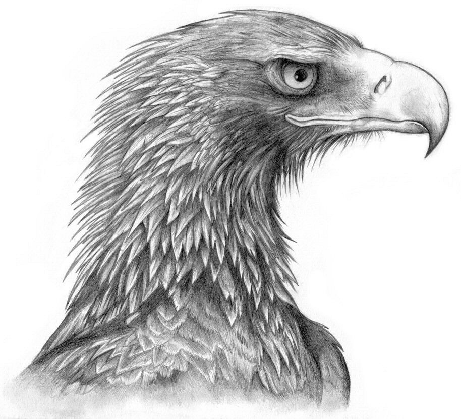 Drawn white-tailed eagle Eagle Draw *Black Draw a