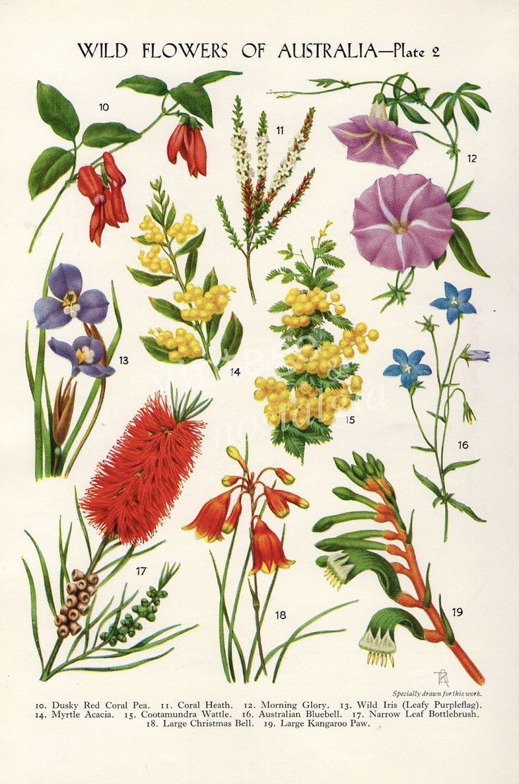 Drawn wildflower australian wildflower On images Find and Pin