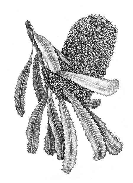 Drawn wildflower australian wildflower Artist Weir Banksia Illustration 2