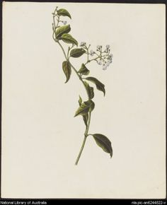 Drawn wildflower australian wildflower 23 wild Australian Find and