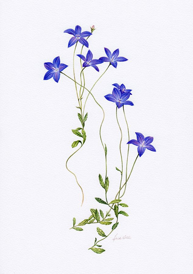 Drawn wildflower australian wildflower Wildflowers Australian Find and Pin