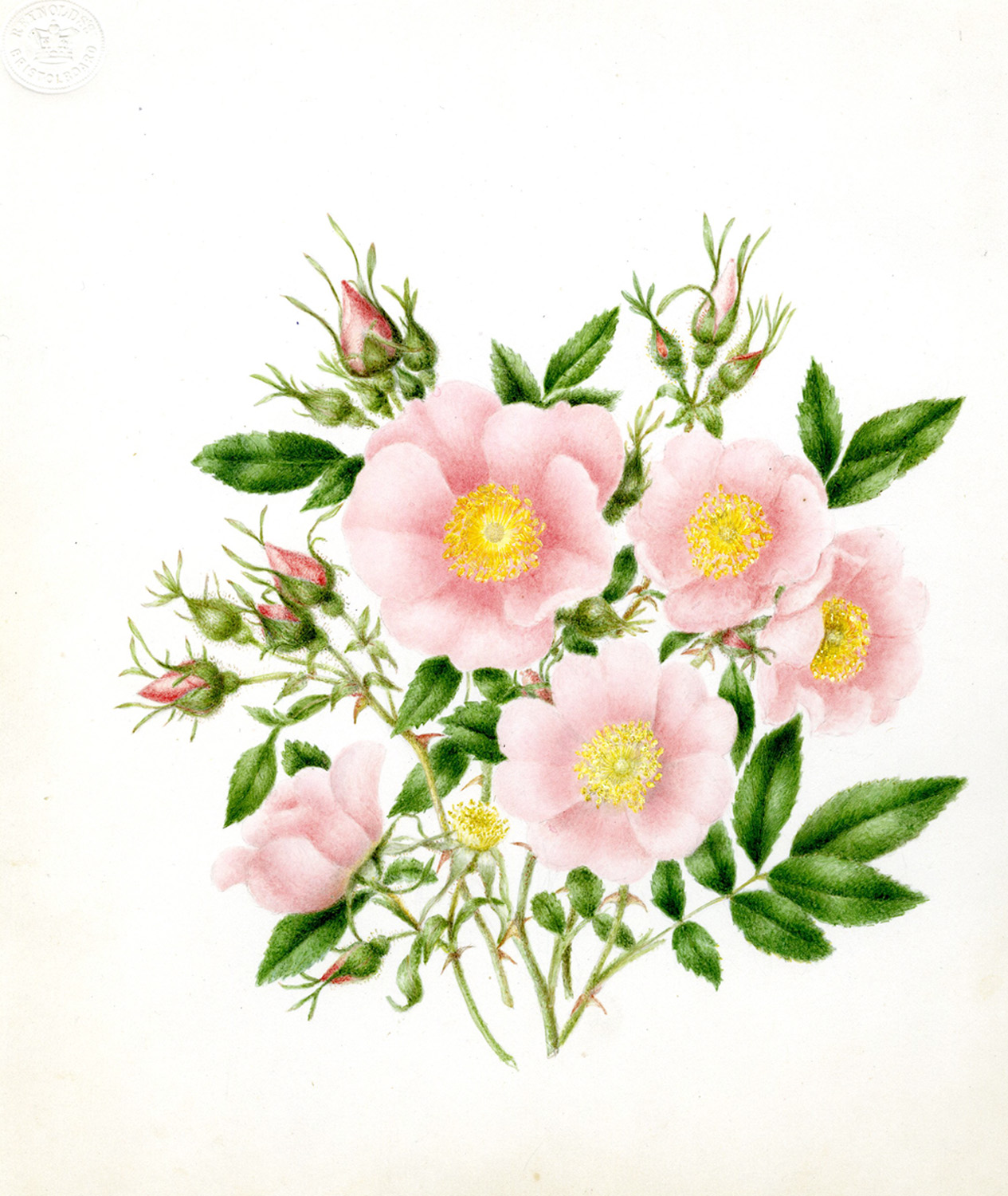 Drawn rose bush wild rose Archives Murdoch Gray Gray Harvard