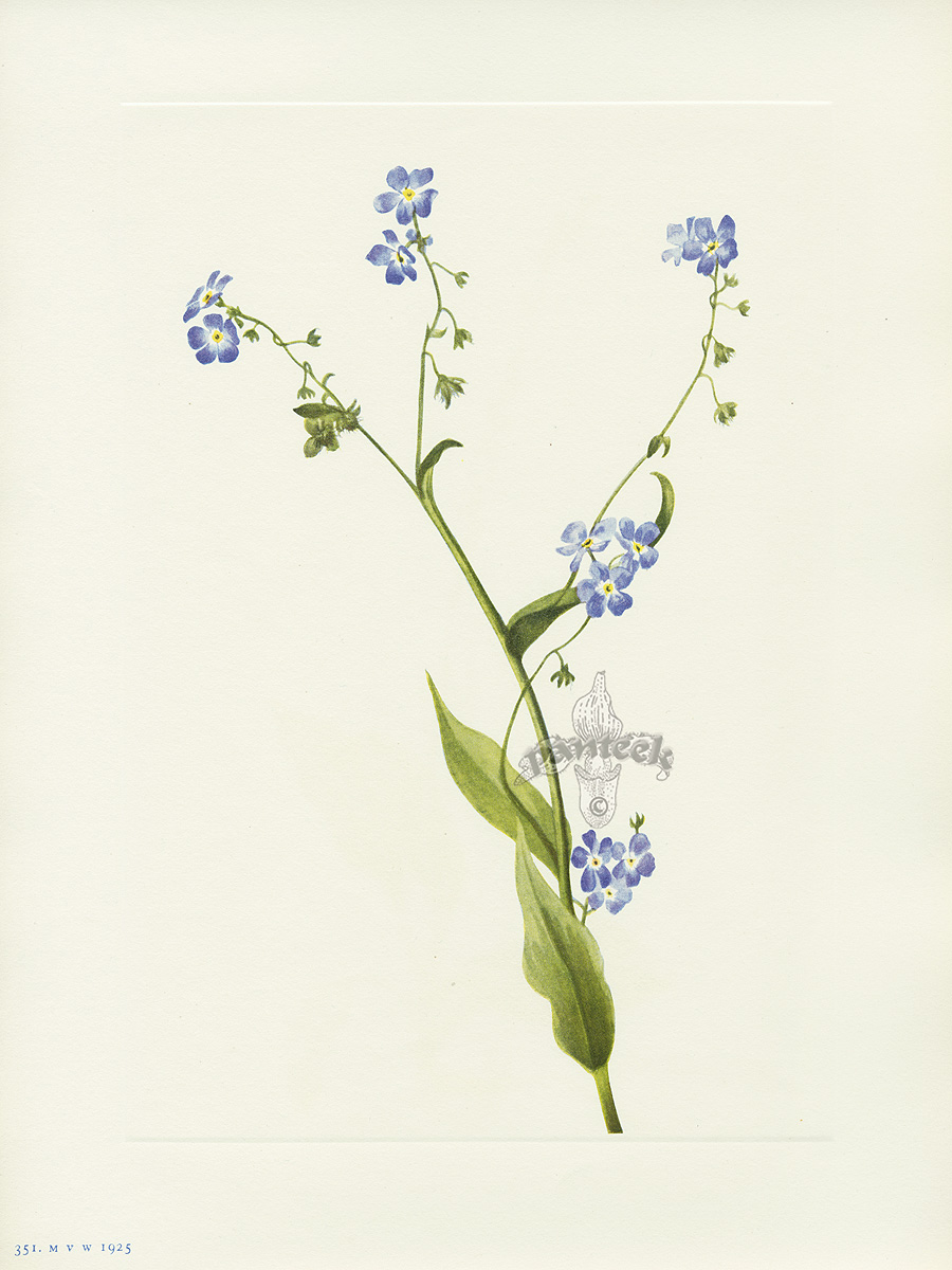 Drawn wildflower forget me not Of