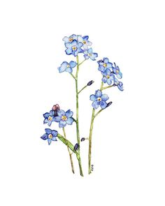 Drawn wildflower forget me not #13
