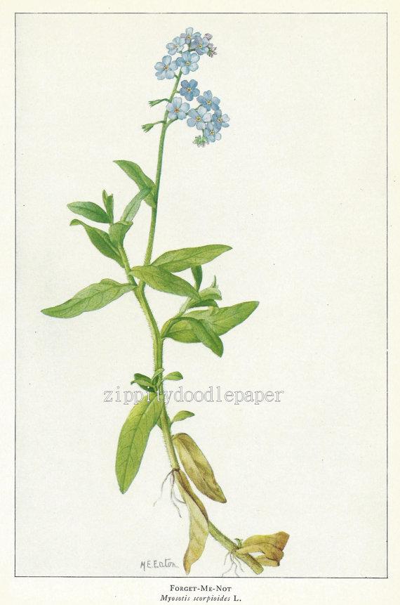 Drawn wildflower forget me not Botanical Illustration Illustration Virginia Vintage