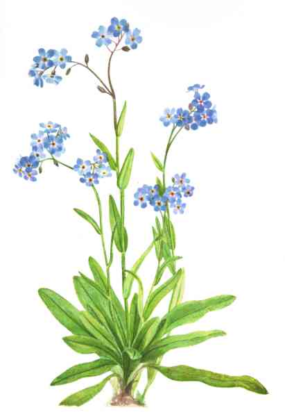 Drawn wildflower forget me not Walcott watercolor Yellowstone to of