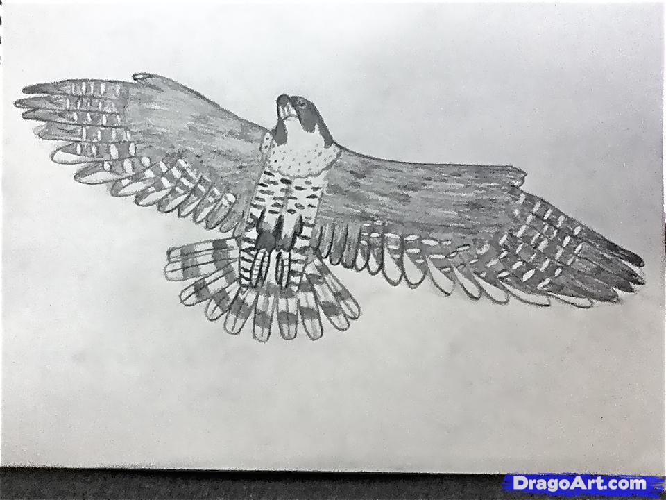 Drawn falcon falcon wing To a Draw Animals peregrine