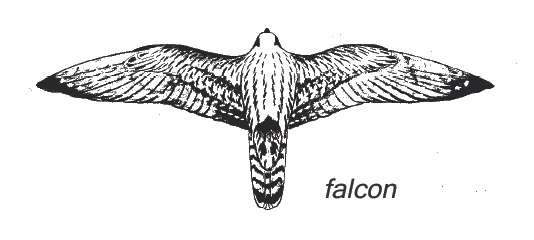 Drawn falcon falcon wing How Identify Hawks Mountain Raptor