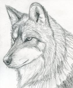 Drawn wolf Wolf Step Head Wolf a
