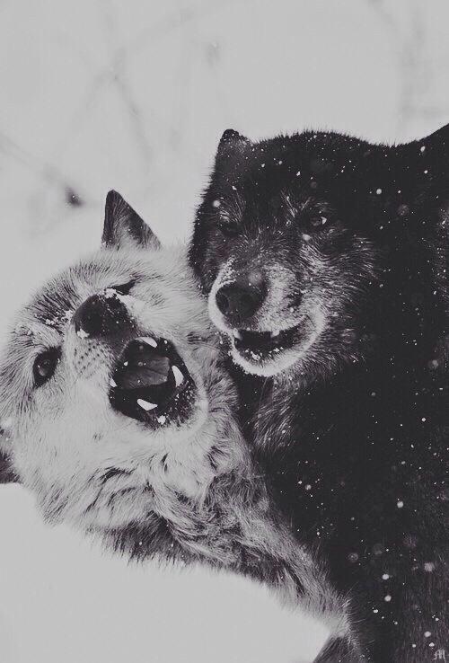 Drawn wolfman bear Wolfman Tumblr Wolfman