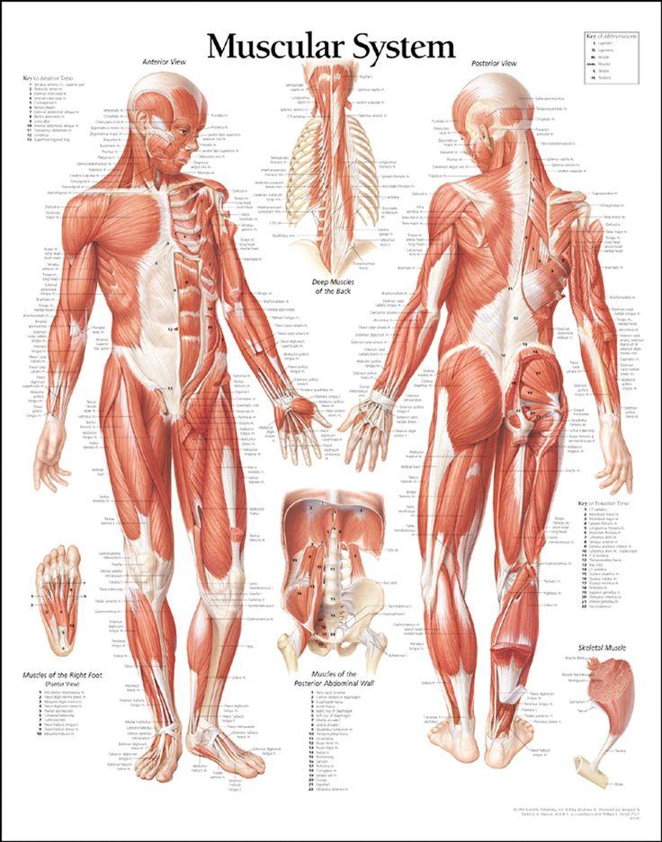 Drawn women back body part Anatomy Taijiquan Pinterest and Best