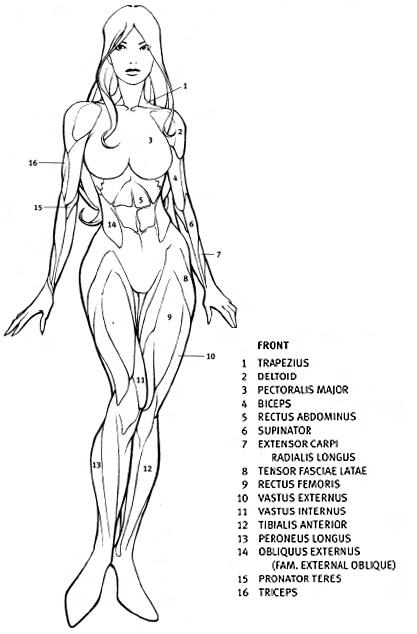 Drawn women muscular  Draw Female Anatomy Lessons