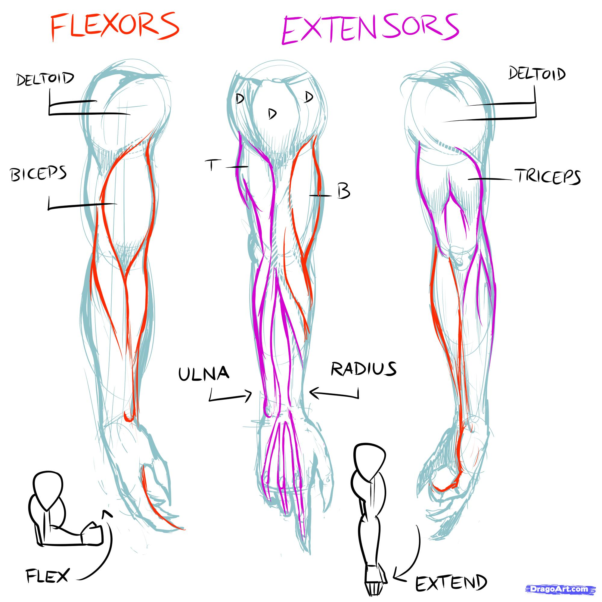 Drawn women muscular How Step Muscles muscles step