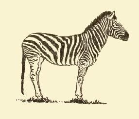 Drawn zebra #8
