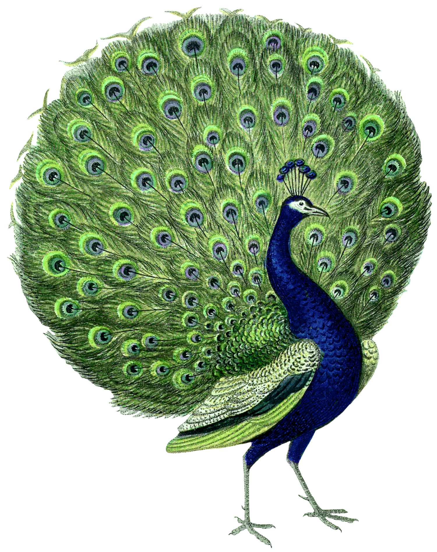 Dreaming clipart property In Interpretation you which «Peacock»