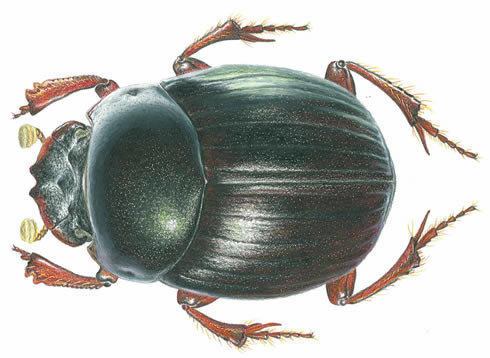 Dung Beetle clipart Darwin after named Beetles Scarabs/Dung