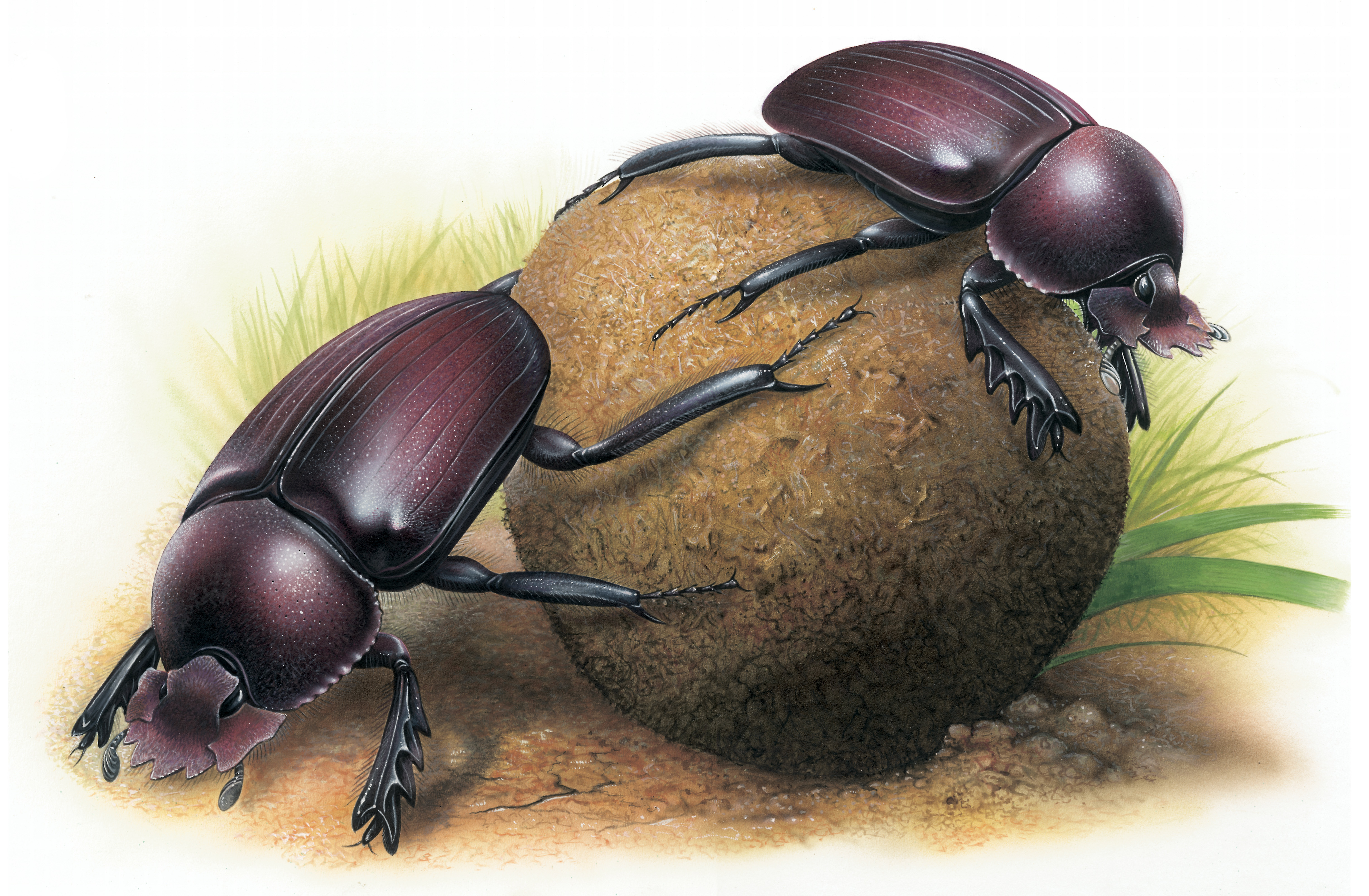 Dung Beetle clipart #11