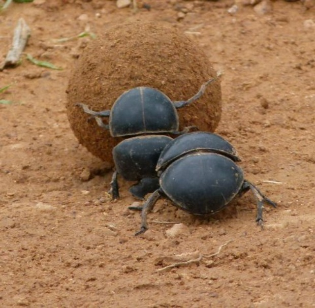 Dung Beetle clipart Cottages our Flightless Beetle our
