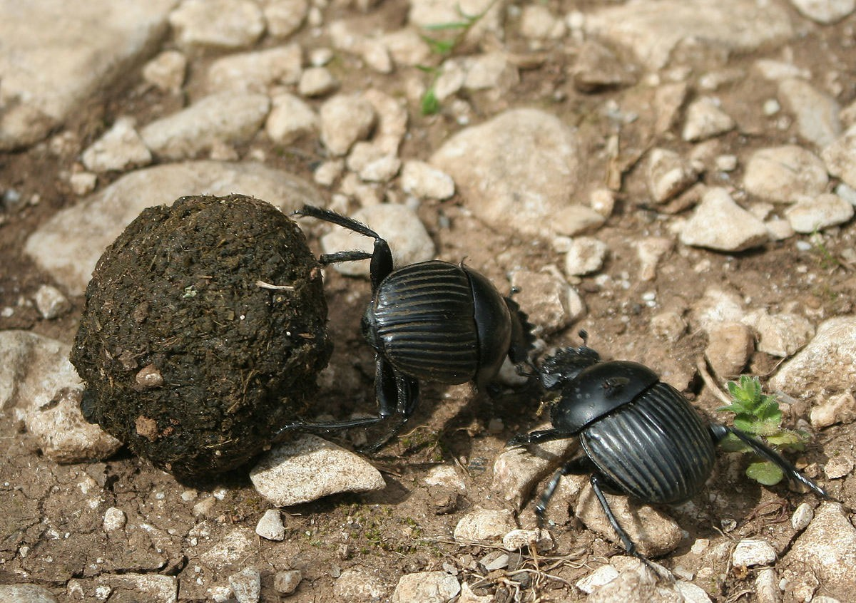 Dung Beetle clipart Wrong: readers over blessings That