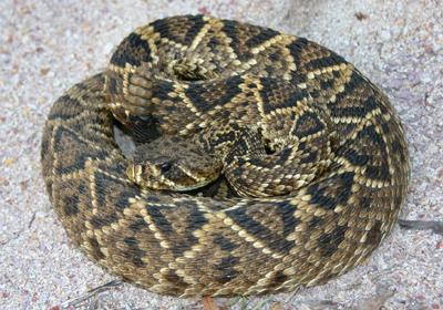 Eastern Diamondback Rattlesnake clipart black diamond #6