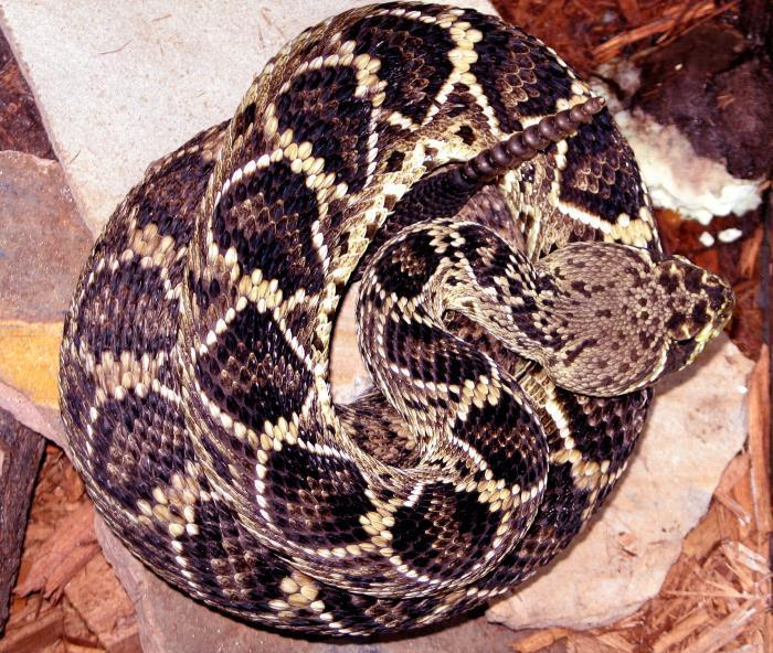 Eastern Diamondback Rattlesnake clipart black diamond #5