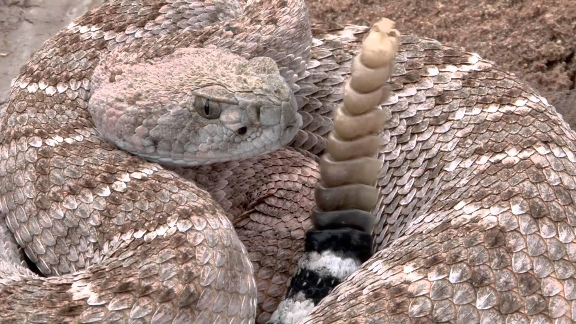 Eastern Diamondback Rattlesnake clipart black diamond #7